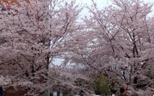 そろそろ桜も終わりかな?